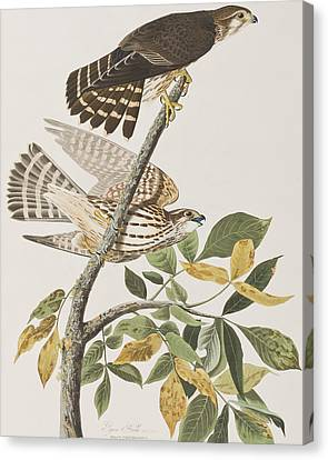Pigeon Hawk Canvas Print by John James Audubon