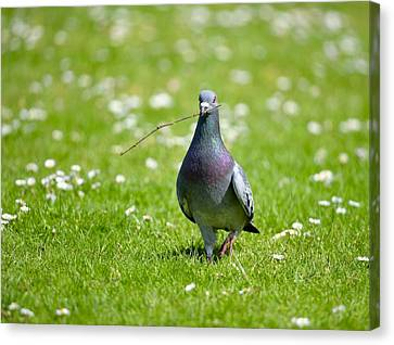 Pigeon In Spring Canvas Print by Kathy King