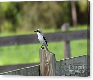 Pigeon-toed Shrike Canvas Print