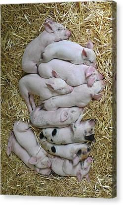 Piglets Canvas Print - Piglets by Rebecca Richardson