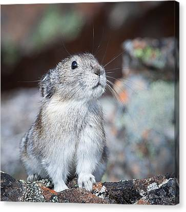 Canvas Print featuring the photograph Pika Portrait by Tim Newton