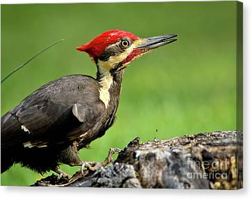 Canvas Print featuring the photograph Pileated 2 by Douglas Stucky