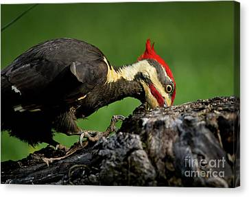 Canvas Print featuring the photograph Pileated 3 by Douglas Stucky