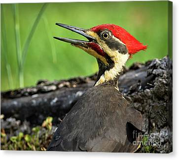 Canvas Print featuring the photograph Pileated by Douglas Stucky