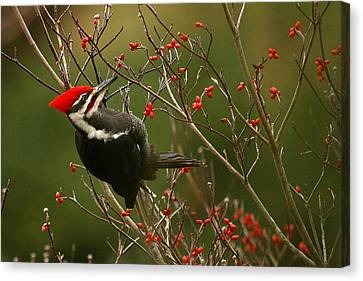 Pileated Woodpecker Canvas Print - Pileated Woodpecker by Alan Lenk