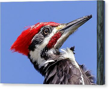 Pileated Woodpecker Headshot Canvas Print