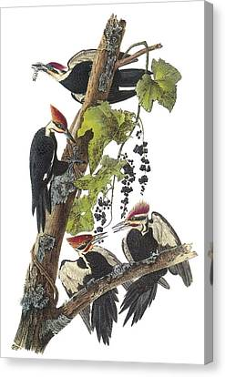 Pileated Woodpecker Canvas Print - Pileated Woodpecker by John James Audubon