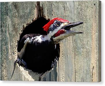 Canvas Print featuring the photograph Pileated Woodpecker Looking Out by Phil Stone