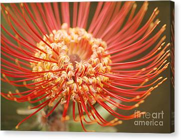 Pin Cushion Protea Macro Canvas Print by Ron Dahlquist - Printscapes
