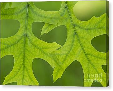 Pin Oak Leaves Canvas Print by Tim Gainey