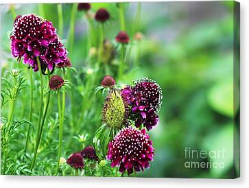 Pincushion Family Canvas Print