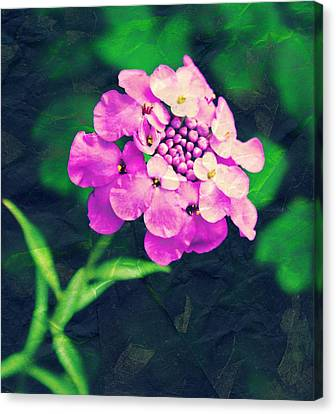 Pincushion Flower Canvas Print by Cathie Tyler