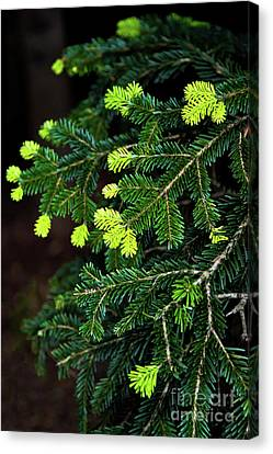 Pine Branch Canvas Print by Svetlana Sewell