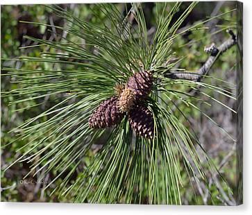 Pine Buds Canvas Print