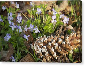 Pine Cone And Spring Phlox Canvas Print by Michael Peychich