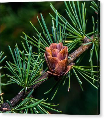 Pine Cone Close Up Canvas Print