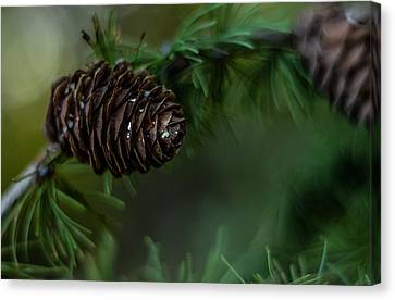 Pine Cones And Evergreens Canvas Print
