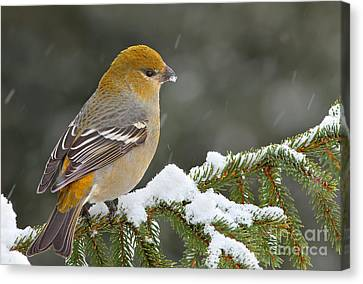 Pine Grosbeak-female In The Winter Storm Canvas Print by Mircea Costina Photography