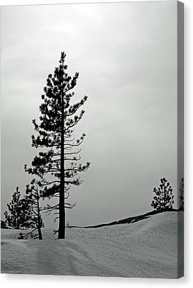 Pine In Snow Canvas Print by Frank Wilson