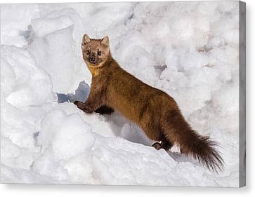Pine Marten In Snow Canvas Print by Yeates Photography