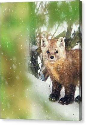 Tracy Munson Canvas Print - Pine Marten by Tracy Munson