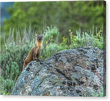 Canvas Print featuring the photograph Pine Marten With Attitude by Yeates Photography