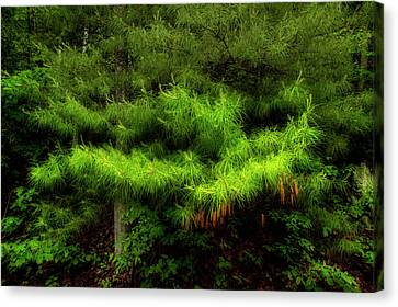 Pine Canvas Print by Mike Eingle