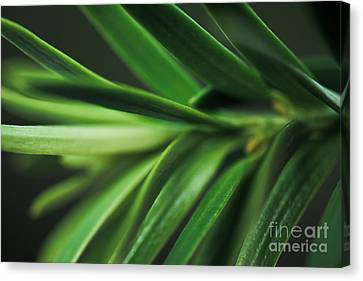 Pine Needles Canvas Print by Ryan Kelly