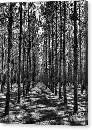 Pine Plantation 5655_6_7 Canvas Print