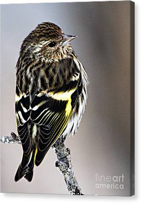 Pine Siskin Canvas Print by Larry Ricker