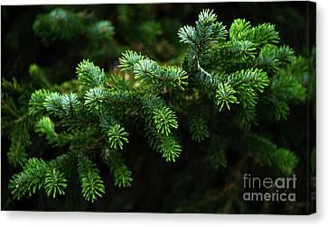 Pine Tree Branch Canvas Print by Svetlana Sewell