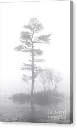 Pine Tree In Heavy Fog Canvas Print by Olivier Le Queinec