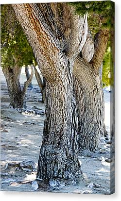 Pine Tree Canvas Print by Ivete Basso Photography