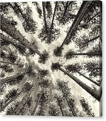 Pine Tree Vertigo - Square Sepia Canvas Print by Adam Pender