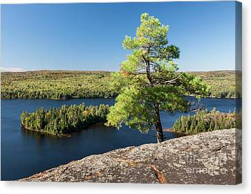 Canvas Print featuring the photograph Pine Tree With A View by Elena Elisseeva