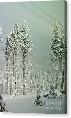 Pine Trees After The Angora Fire Canvas Print by Paula Deutz