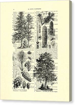 Pine Trees Study Black And White  Canvas Print by Madame Memento