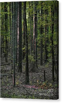 Canvas Print featuring the photograph Pine Wood Sunrise by Skip Willits
