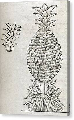 Pineapple, 16th Century Artwork Canvas Print by Middle Temple Library