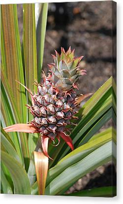 All Your Vision Canvas Print - Pineapple by Don  Wright
