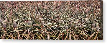 Pineapple Pano Canvas Print by Heather Applegate