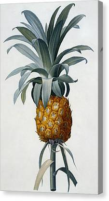 Pineapple Canvas Print by Pierre Joseph Redoute