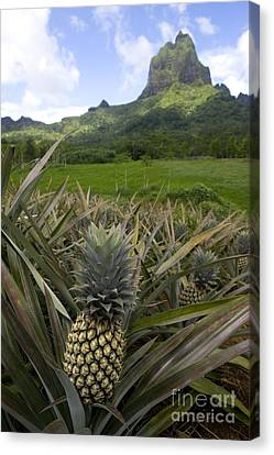 Pineapples In Moorea Canvas Print by Jean-Louis Klein & Marie-Luce Hubert