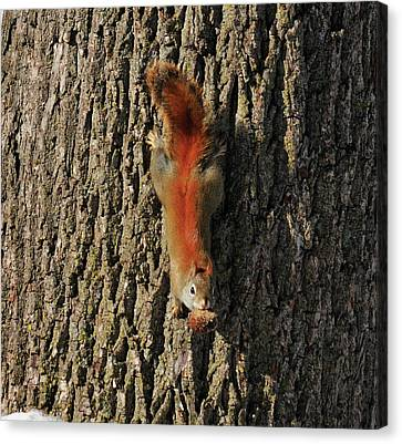 Piney Squirrel Canvas Print by David Arment