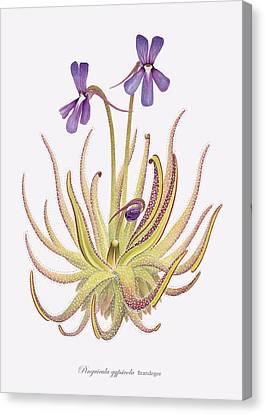 Pinguicula Gypsicola Canvas Print by Scott Bennett