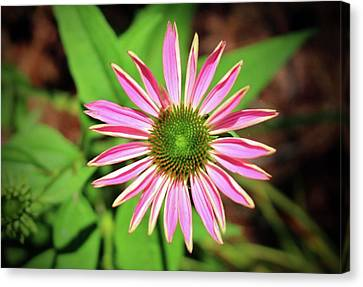 Pink And Green Zinnia Canvas Print