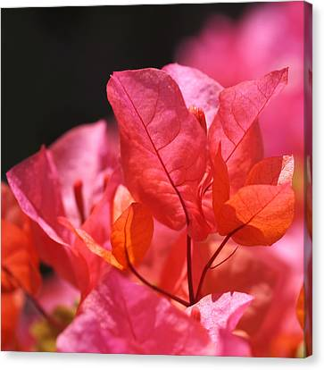 Colorful Abstracts Canvas Print - Pink And Orange Bougainvillea - Square by Rona Black