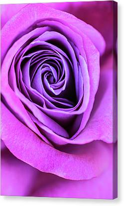 The Nature Center Canvas Print - Pink And Purple Rose Spiral by Vishwanath Bhat