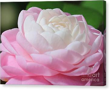 Pink And White Camellia Closeup Canvas Print by Carol Groenen