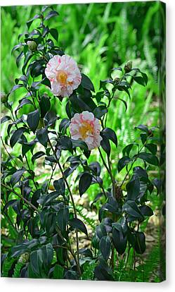 Pink And White Camellias Canvas Print by Aimee L Maher Photography and Art Visit ALMGallerydotcom